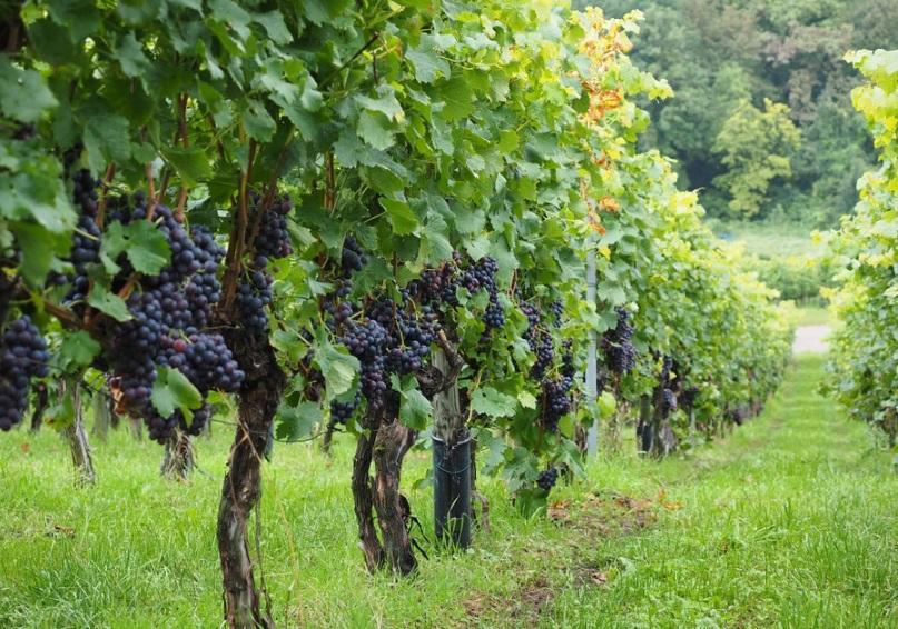 Du vin - Vignoble